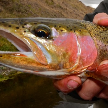 Missouri River Trout Numbers Good