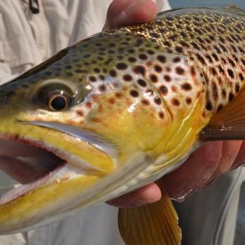 Missouri River Montana Fishng Report