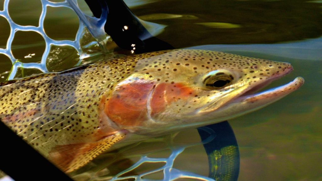 Headhunters Fly Shop and Guide Service Missouri River Fishing Report