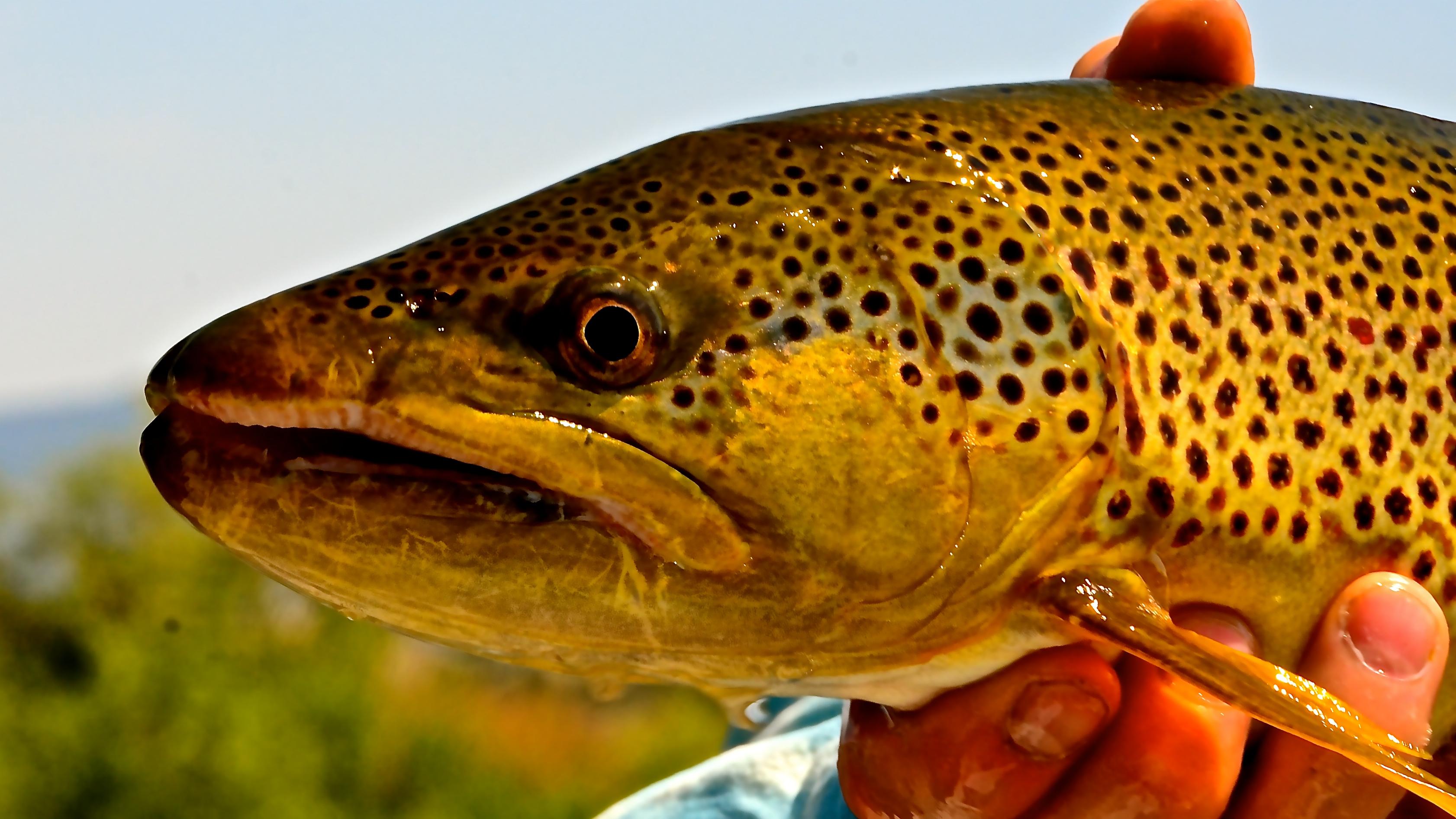 Big Brown Trout on dry flies