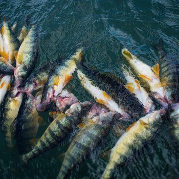 Montana Perch Fishing