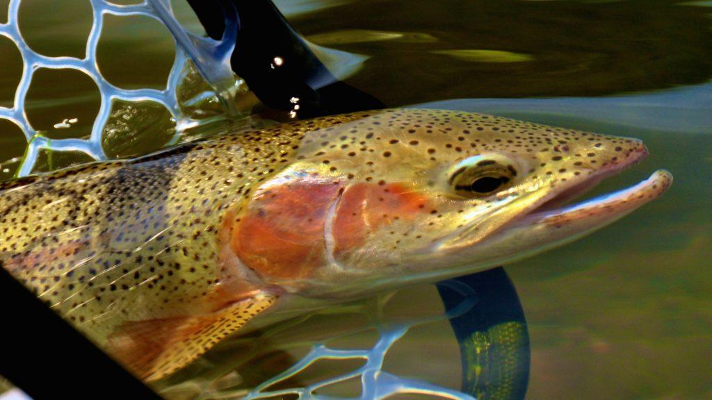 Missouri River Montana Fishing Report 12.3.15