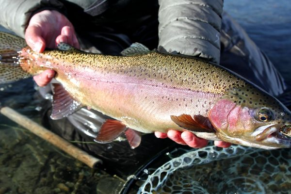 Saturday Trout Spey Rainbow