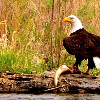 Bald Eagle on Brown Trout