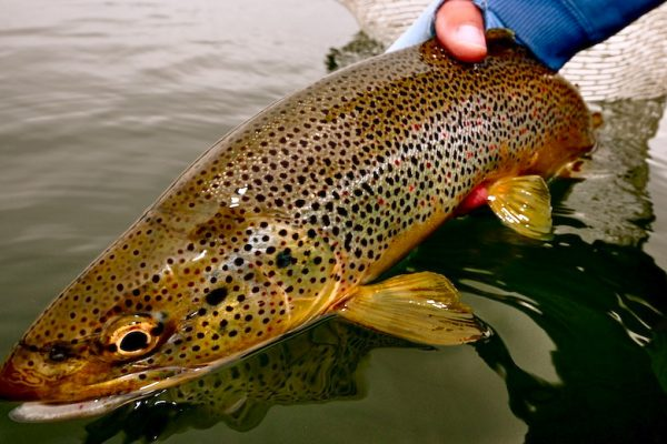 Thursday Morning Brown Trout