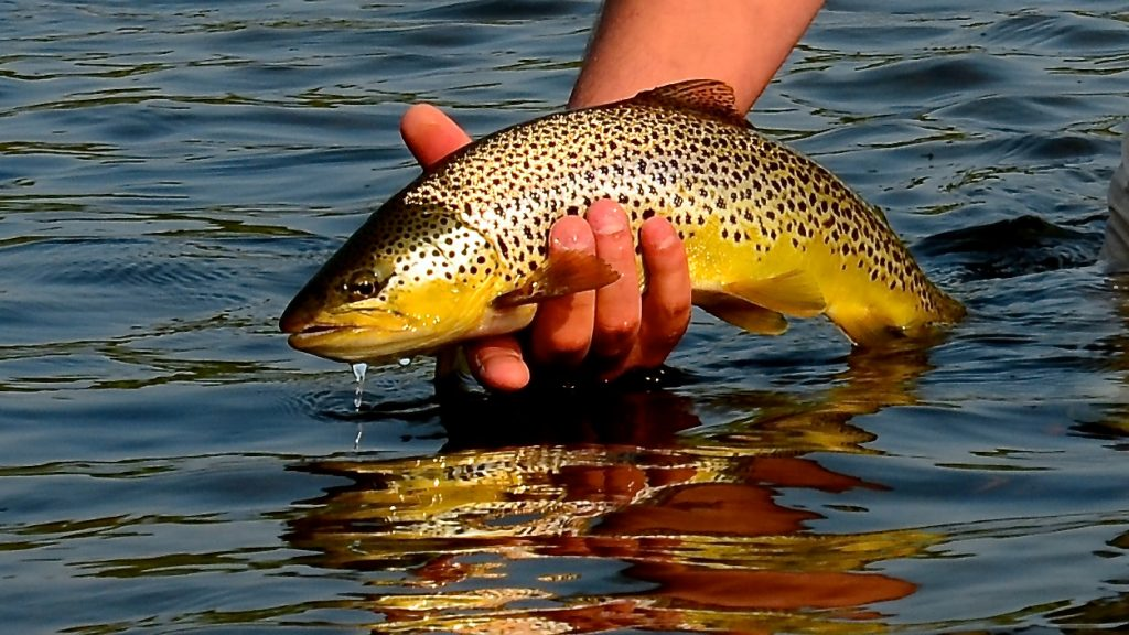 Brown Trout Montana Fly Fishing