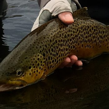 Sunday Brown Trout