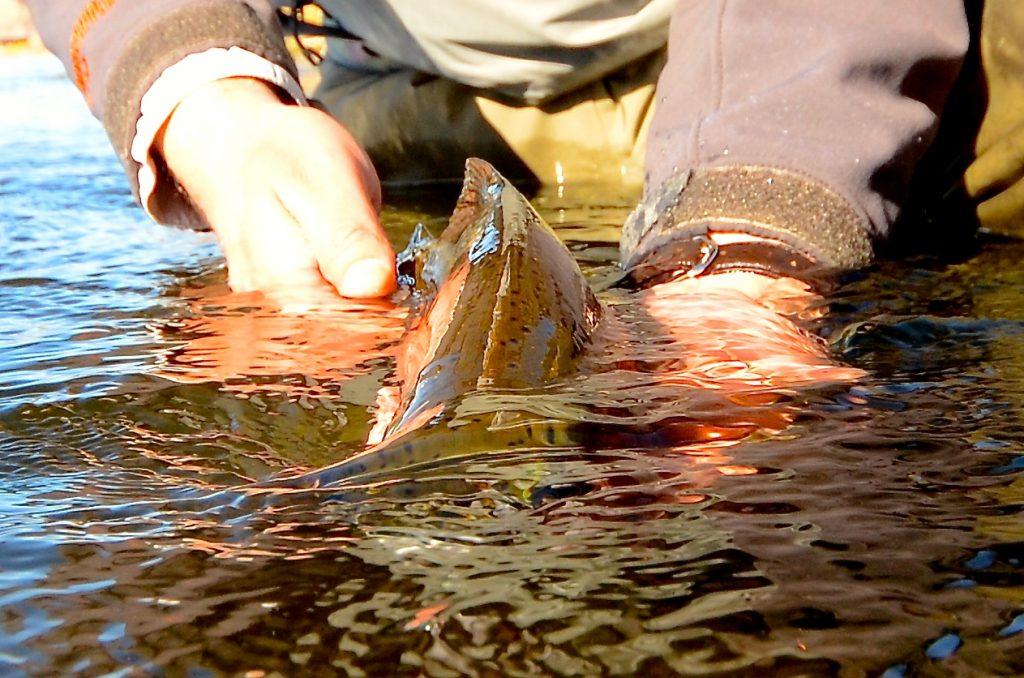 Hump Day Missouri River Fishing Report