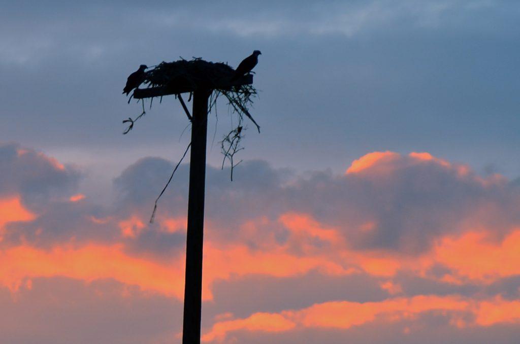 Osprey Sunset