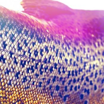 Missouri River Brown Trout closeup