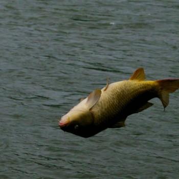Montana Carp Throwing