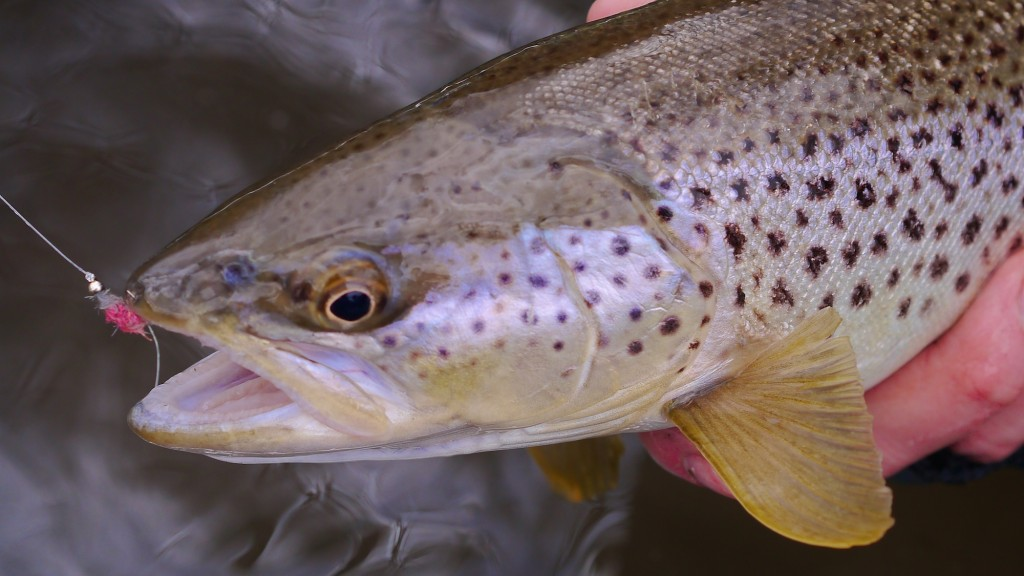 Missouri River Montana Weekend Fishing Report
