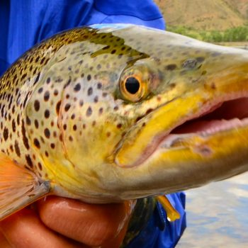 Missouri River Summer Fishing Report
