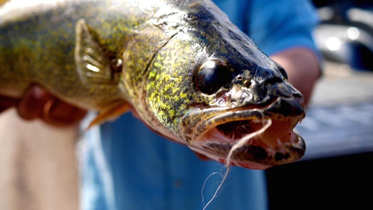 Walleye eat Trout jun Montana
