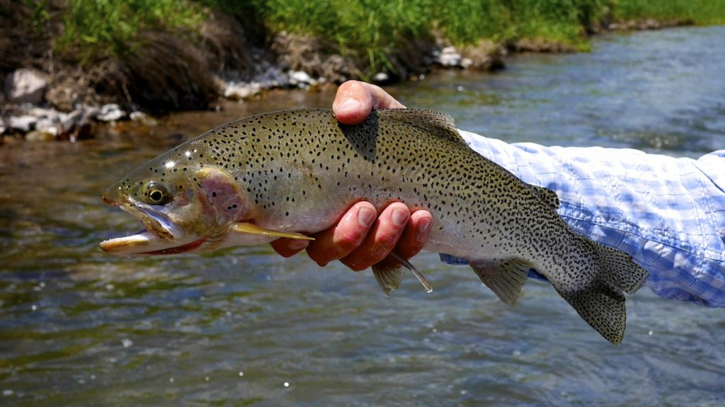 Blackfoot River montana cutthroat