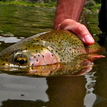Missouri River Montana Fishing Report 6.22.15
