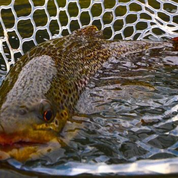 5 Hot September Tips for the Missouri River Fly Fisher