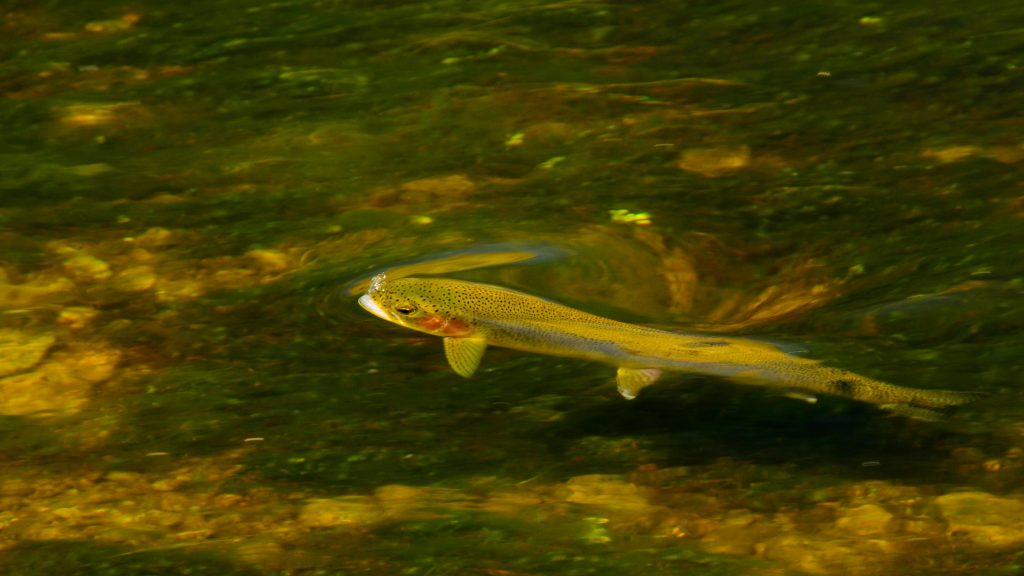 Friday Foto Rising Rainbow Trout