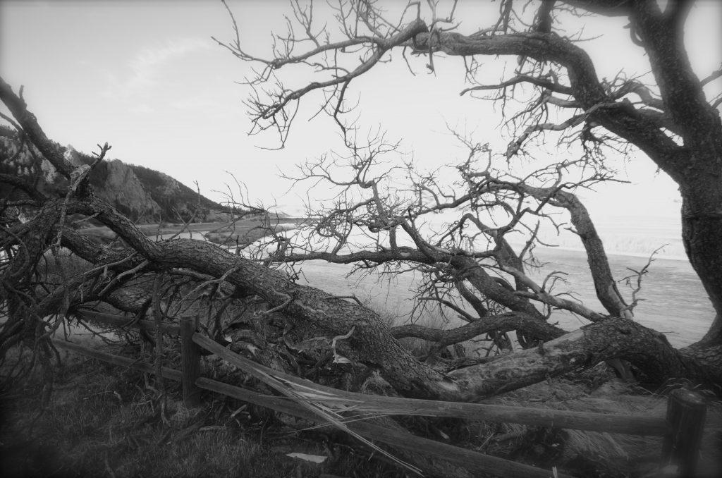 Lone Pine Gone