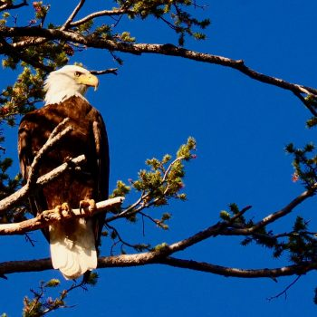 Friday Foto Spring Eagle Image