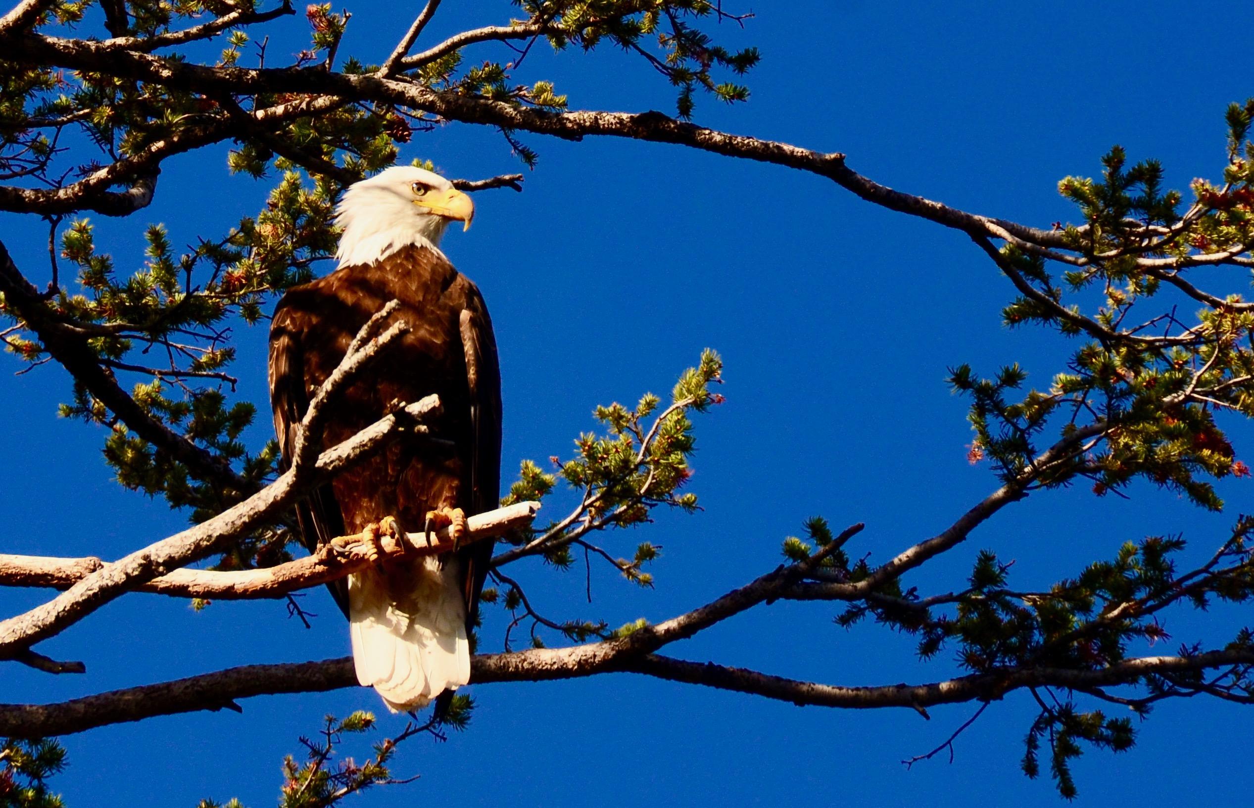 Friday Foto Spring Eagle Image
